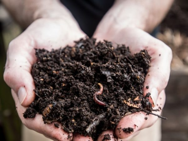 Compost with worms in hand